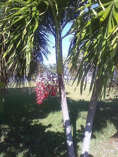 Christmas Berries in the Keys