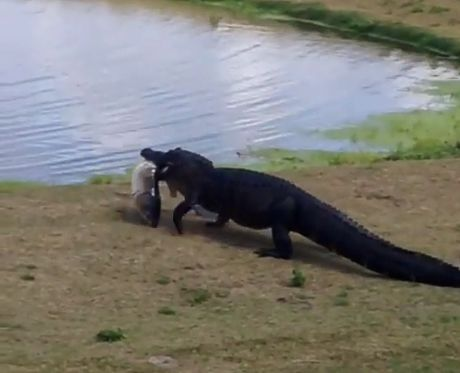 Croc Takes Pet Fish Back to the Pond