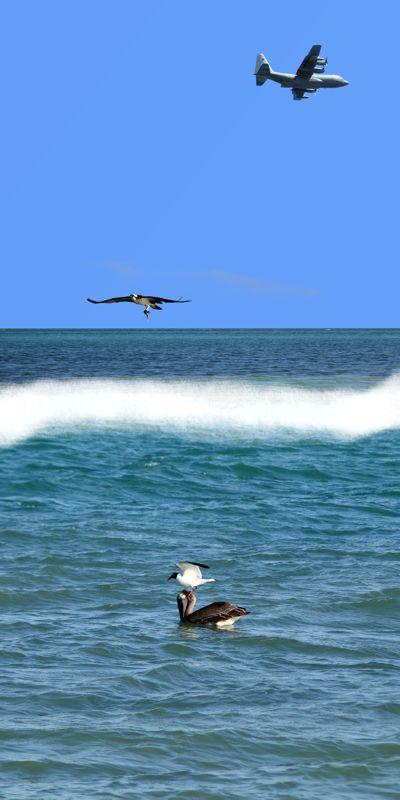 Herky Bird, Osprey, Pelican, Gull