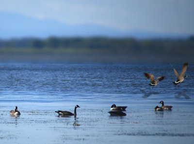 Geese on Missisquoi Bay