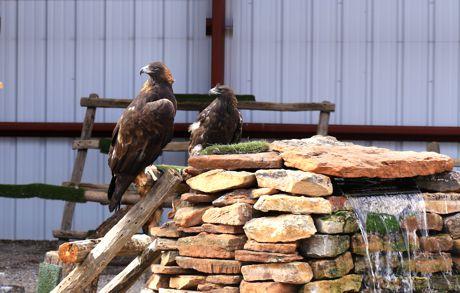Golden Eagles at Navajo Nation Zoological Park