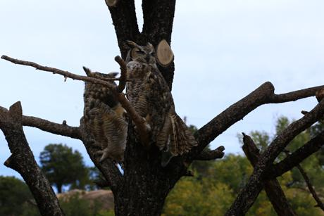 Great Horned Owls on the Res