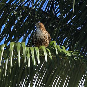 Winter Visitor: Red Tailed Hawk in a Palm Tree