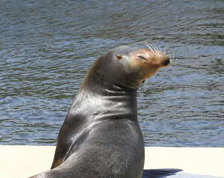 Sea Lion Basking in the Florida Sun