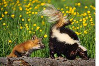 Skunk and Friend